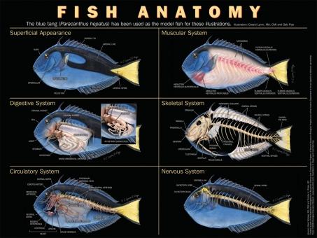 """Poster """"Fish Anatomy"""""""